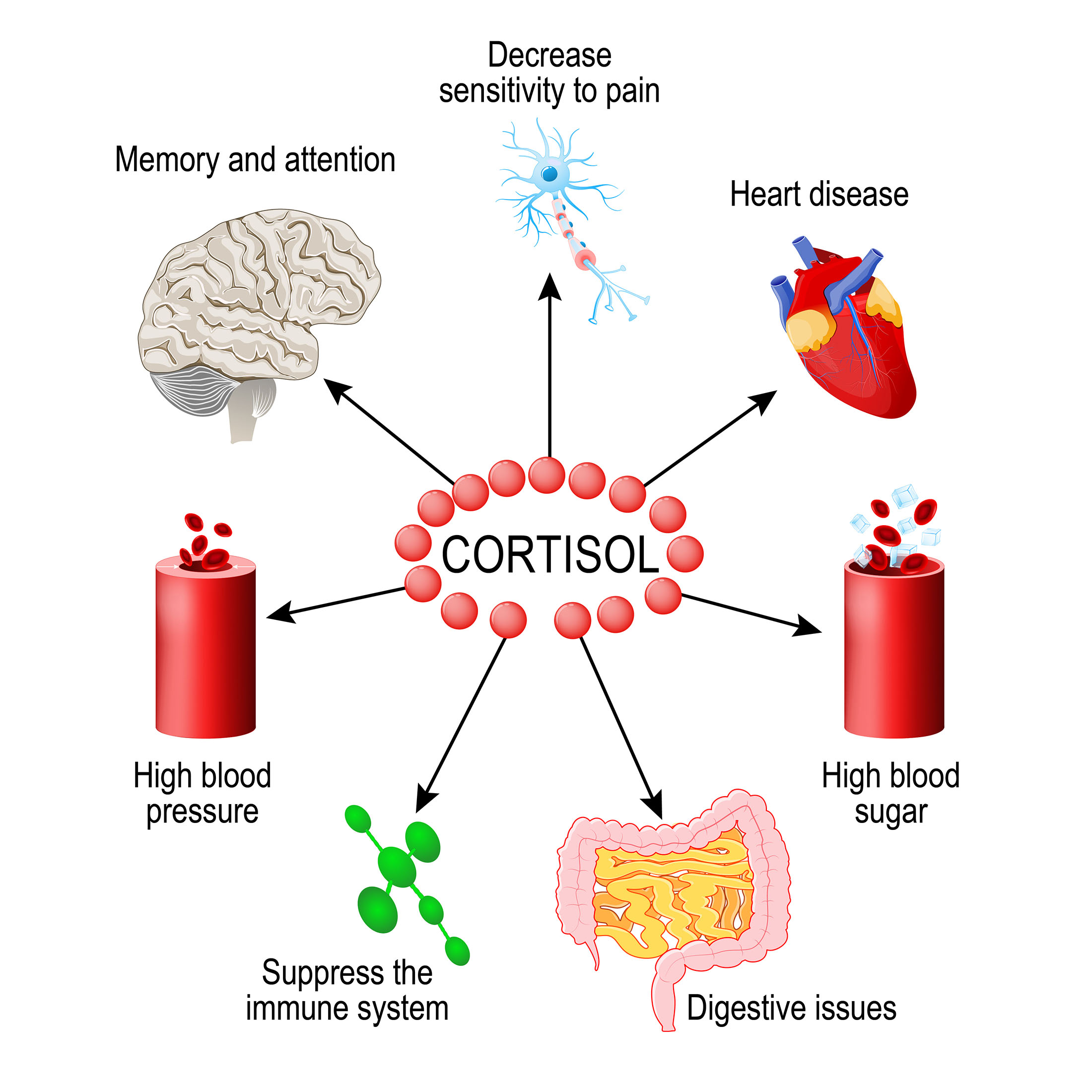 what does cortisol do in the body